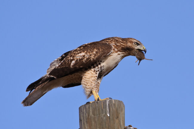 Hawk eating a mouse #1