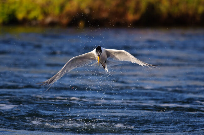 Caspian Tern - 1/2000th of a second