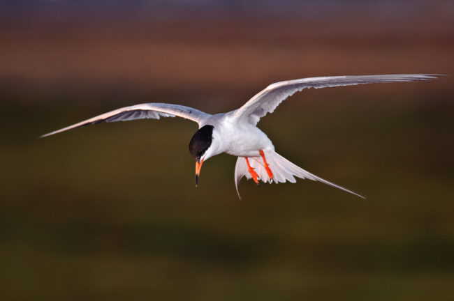 Caspian Tern - 1/250 of a second @ ISO 800
