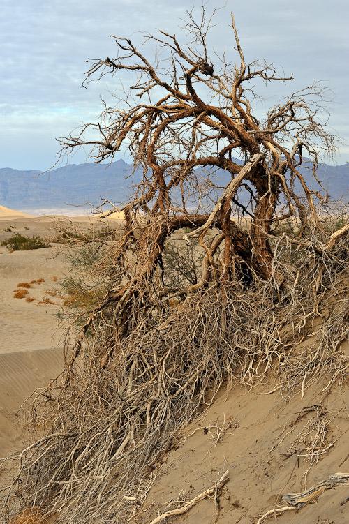 Sand Dune Trees #1