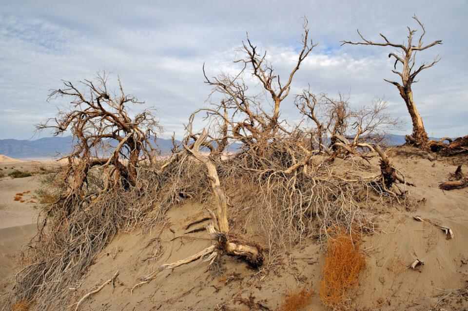 Sand Dune Trees #2