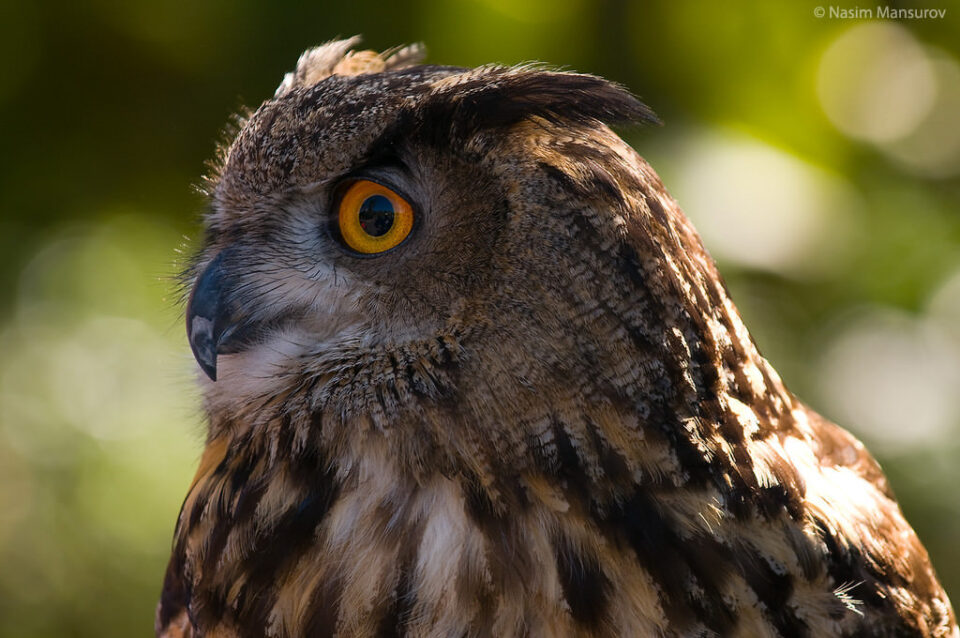 How to photograph birds - Great Horned Owl