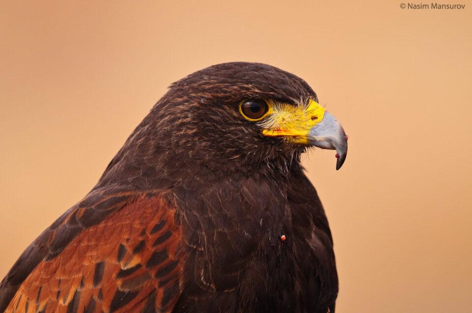 Harris's Hawk after lunch