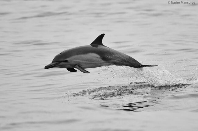 Common Dolphin Jump