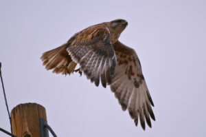 Hawk - Recovered from RAW