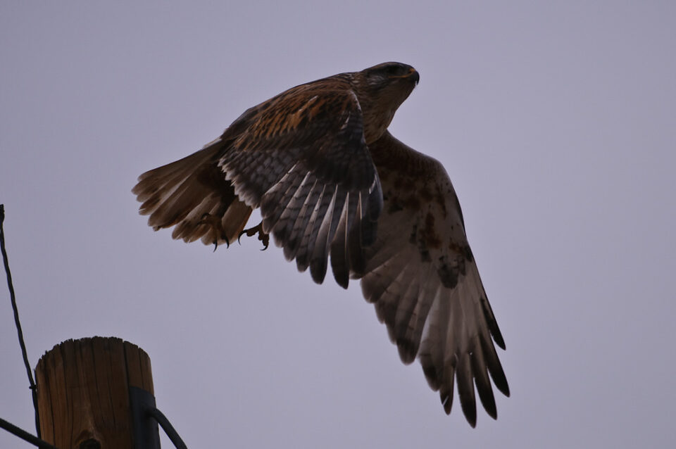 Hawk - Underexposed