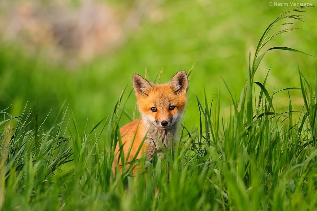 روباه, روباه قرمز, گالری عکس روباه, عکس های روباه قرمز