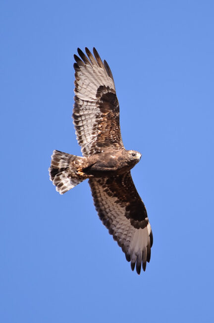 Zone-tailed Hawk 2