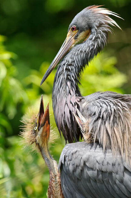 Heron feeding chicks at Gatorland