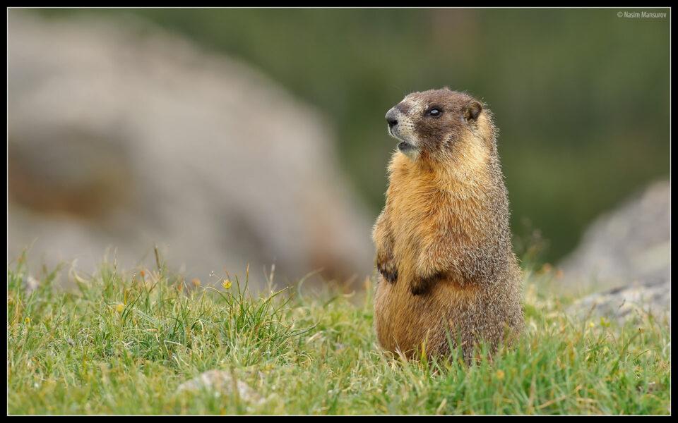 Marmot Standing Up