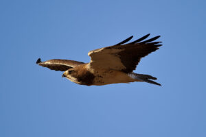 Local Hawks