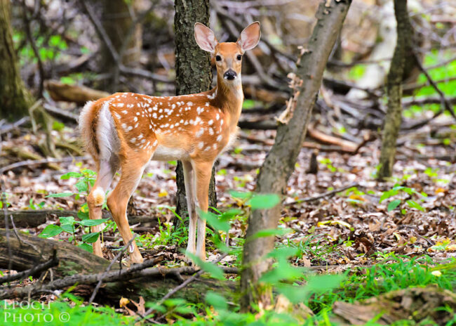 A Fawn Stopped to Pose