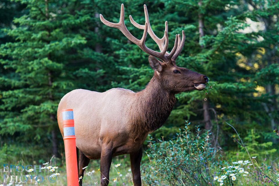 Bull-Elk-4
