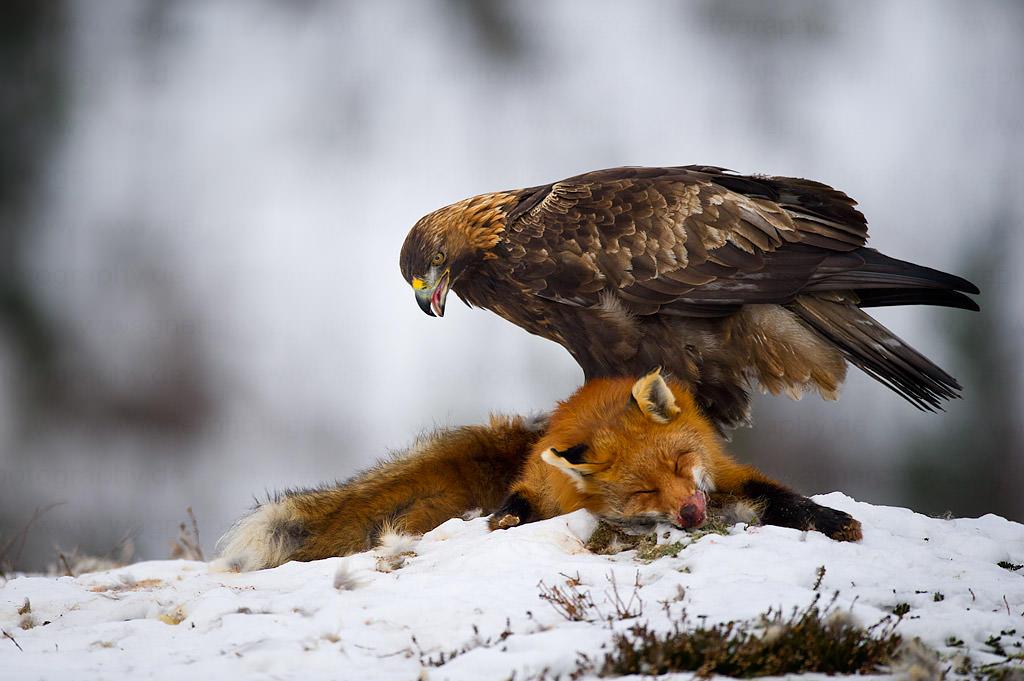 Golden-Eagle-on-Fox.jpg