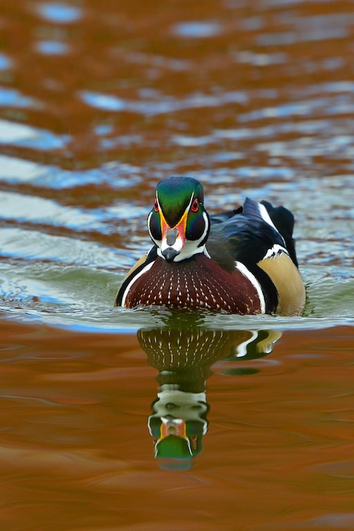 Wood Duck #4
