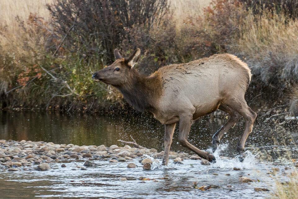 Female Elk Crossing River