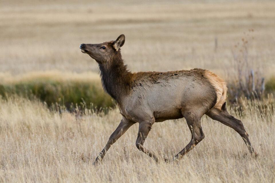 Female Elk Running