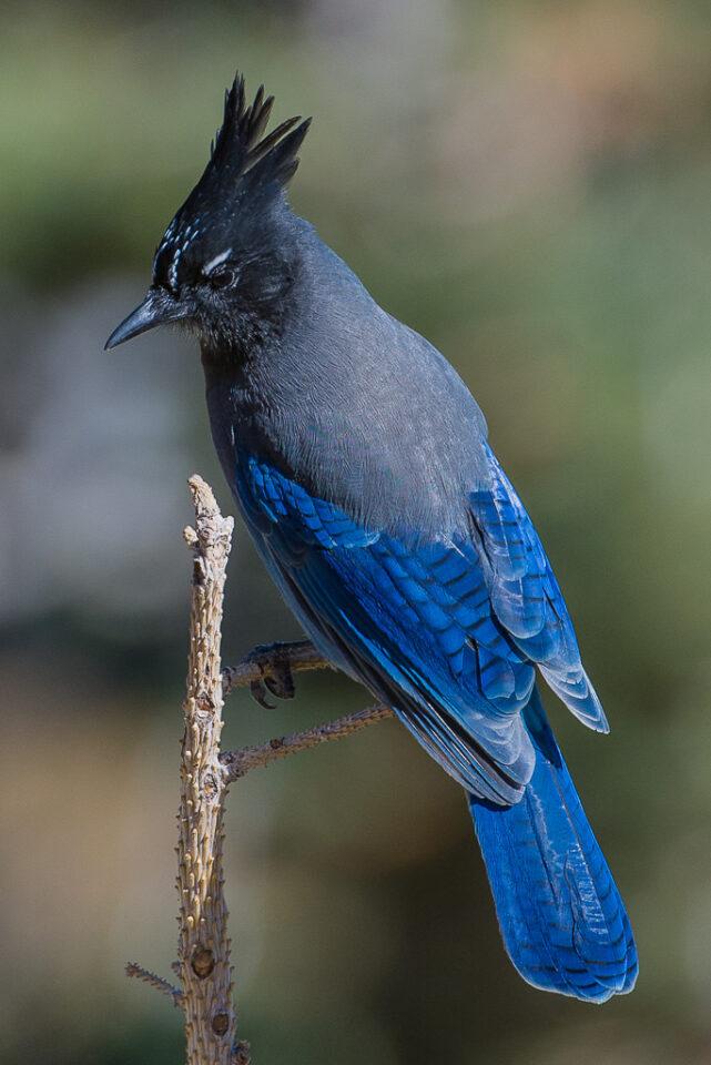 Steller's Jay (2)