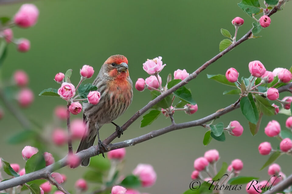Common House Finch in Crabapple Blossoms