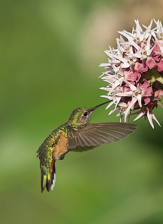 Female Broadtailed Hummingbird in blossom