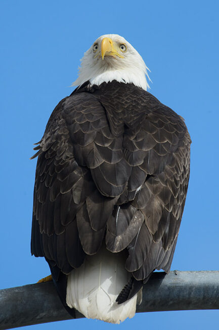 Bald Eagle Vertical