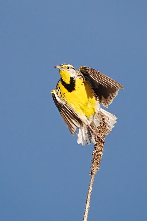 My Grandson's Meadowlark Photo