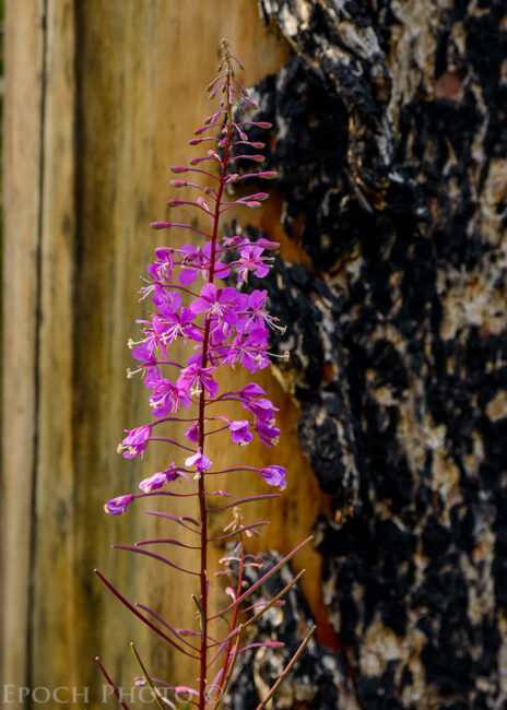 Fireweed and Burned Tree