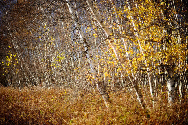 Birches and grasses @ f/1.2 (with spherical aberration)