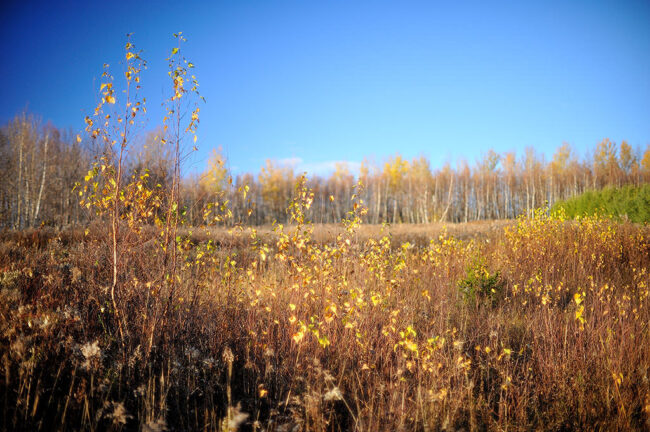 Birches and grasses in november light @ f/1.2 (with spherical aberration)