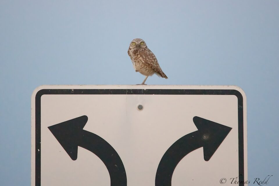 Owl at a crossroads