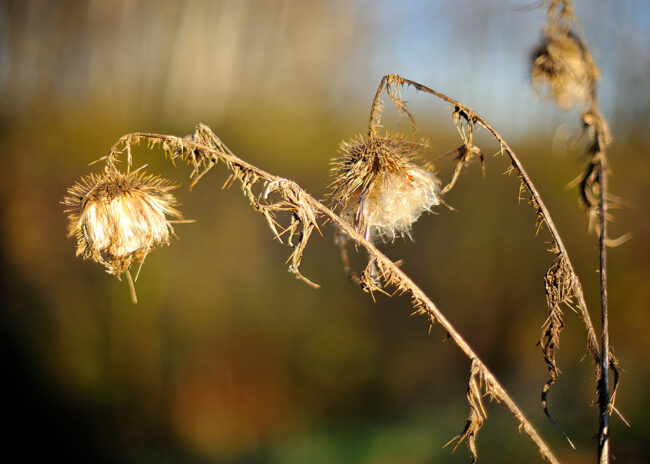 Thistles in the soft autumn light @ f/1.2