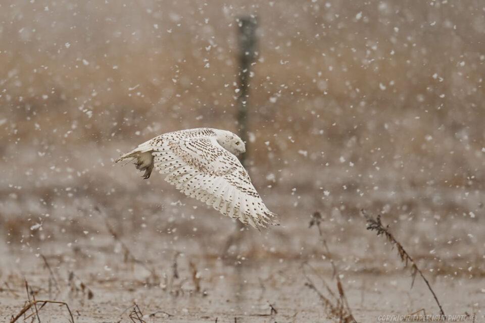 Snowy Owl hunting in Marsh