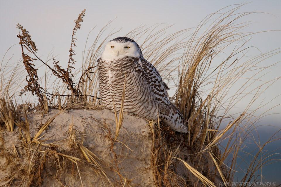 Snowy Owl in Sand Dunes