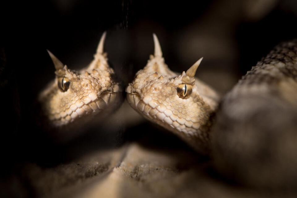 Verm Desert Horned Viper captive Kentucky Reptile Zoo