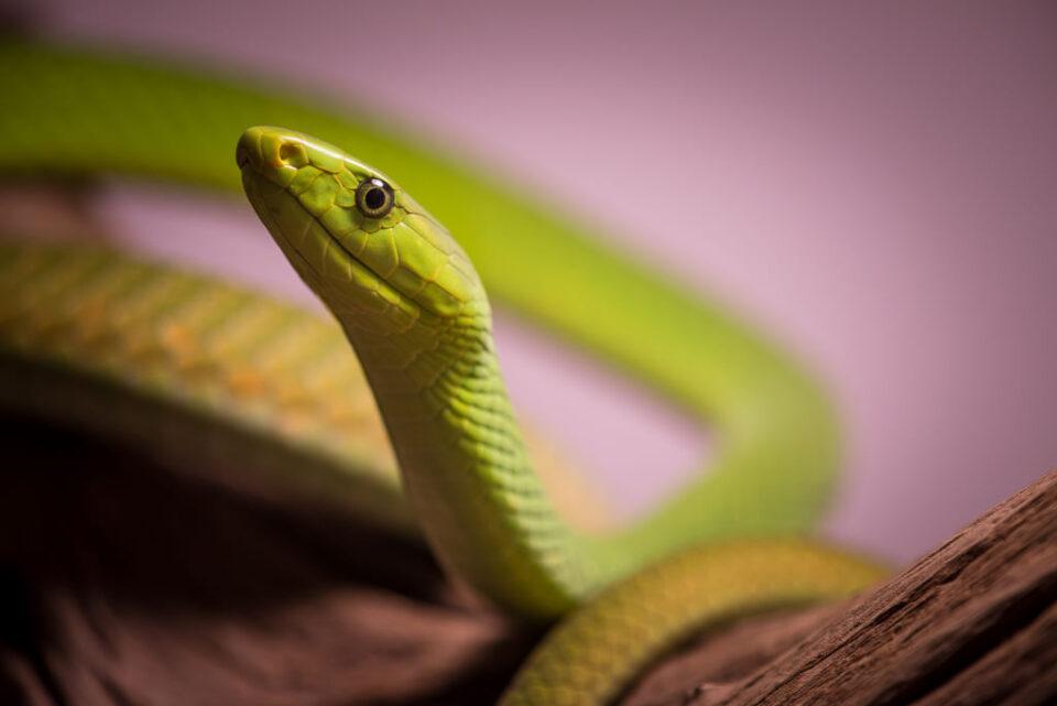 Verm East African Green Mamba captive Kentucky Reptile Zoo