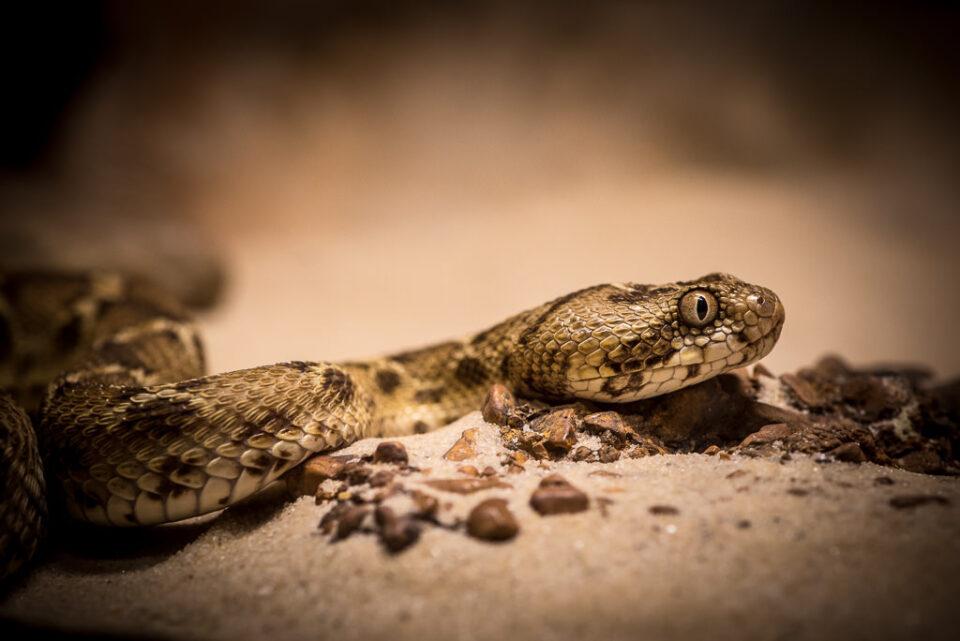Verm Egyptian Saw-scaled Viper captive Kentucky Reptile Zoo