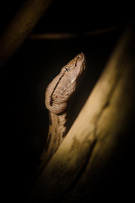 Verm Tokara Habu captive Kentucky Reptile Zoo