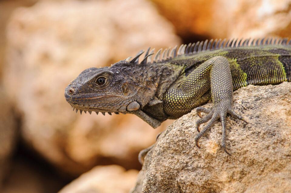 Iguana Look