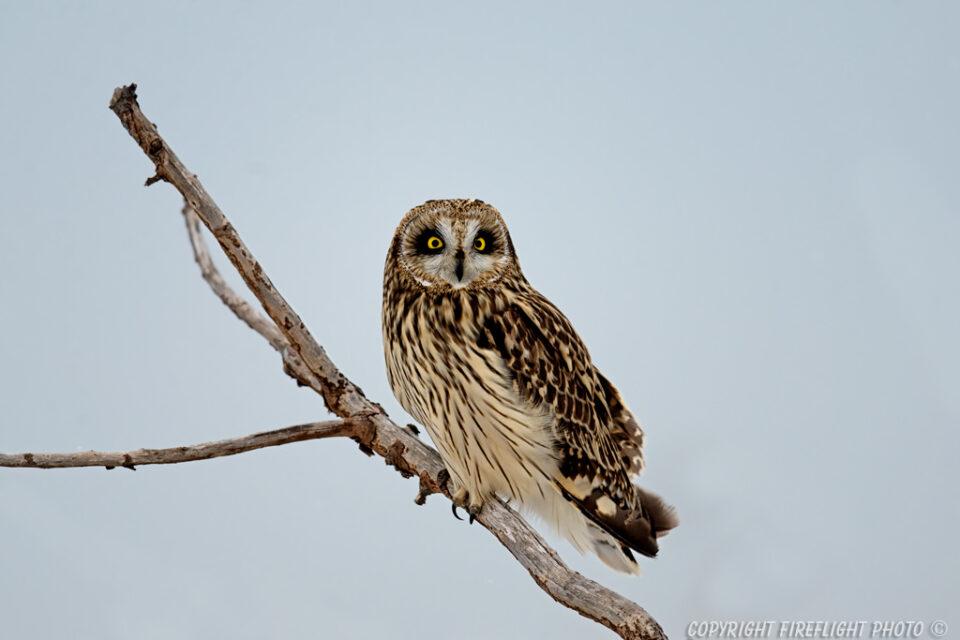 Short-eared Owl in Snag