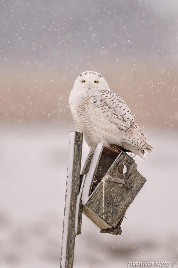 MASN046-DSC0313-Snowwy-Owl-on-Old-Bird-House-Gimbal-Mounted-800mm-Sample-Photo