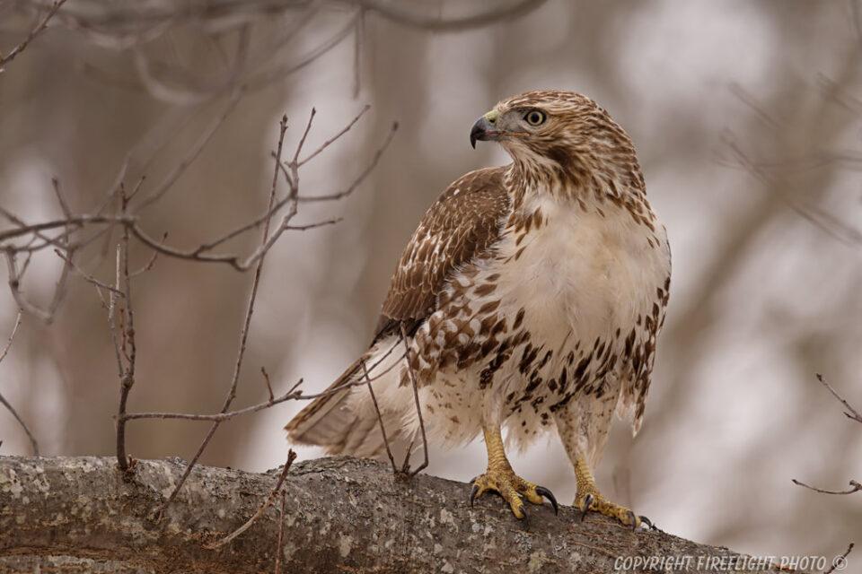 Redtail Hawk Sitting in Tree