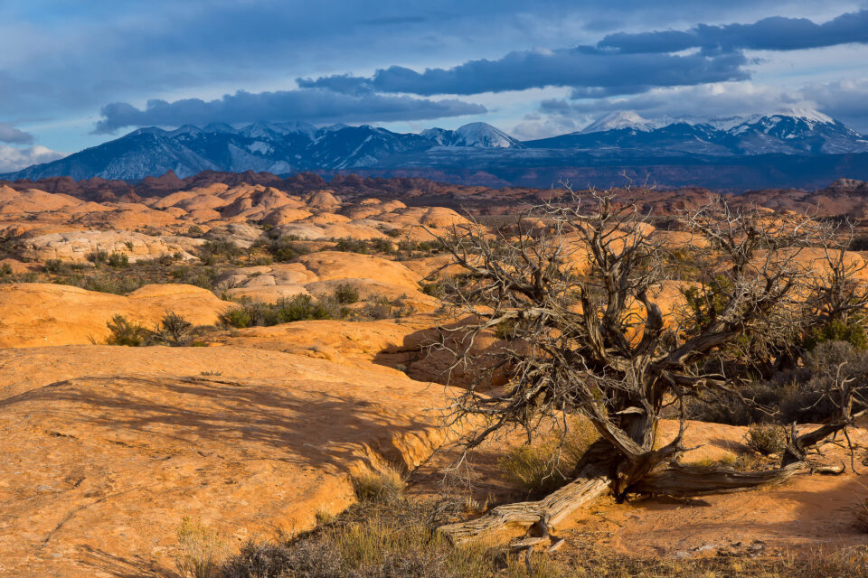 Petrified Dunes Tree