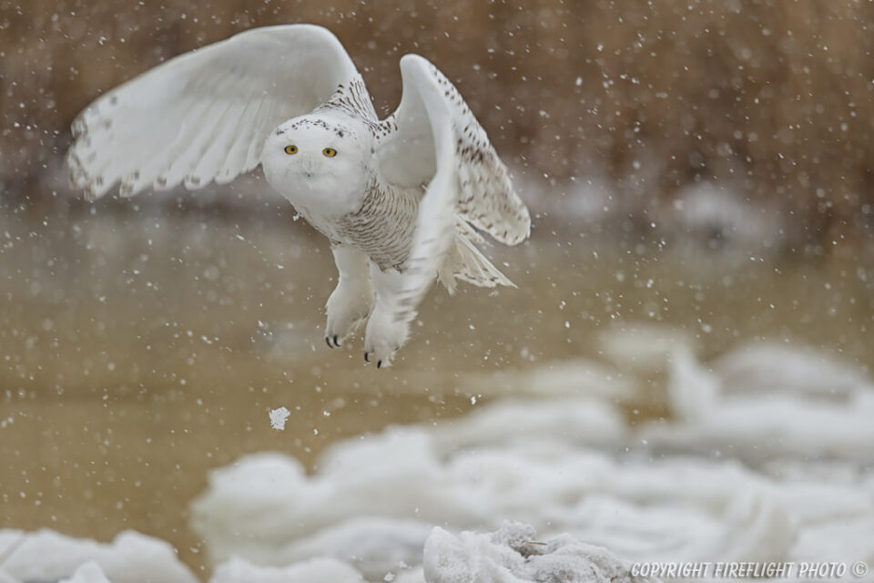 Snowy Owl flying in Marsh Area