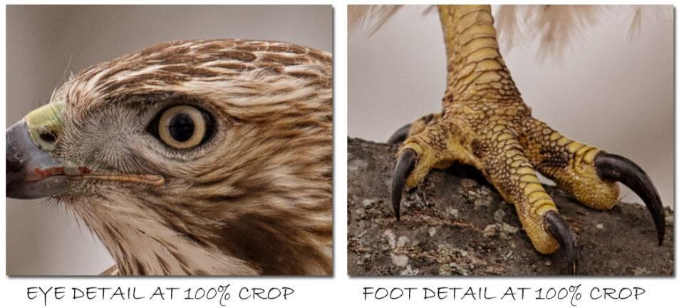 Redtail-Hawk-Nikon-800-mm-100-Percent-Crop-Samples
