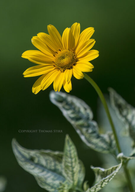 Thomas Stirr Flower Photography (8)