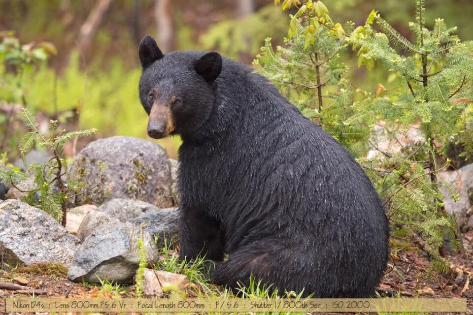 Beautiful Wet Female Black Bear