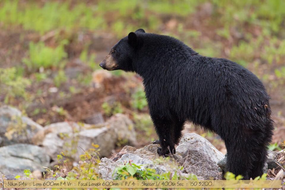 Beautiful Black Bear Looking over Ledge