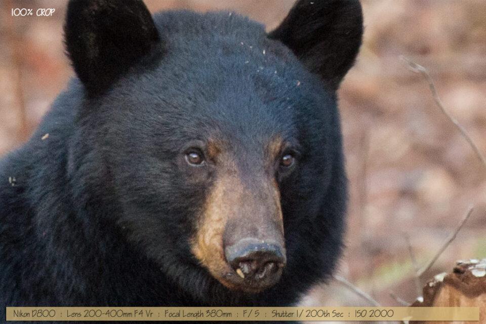 Beautiful Black Bear with Cub