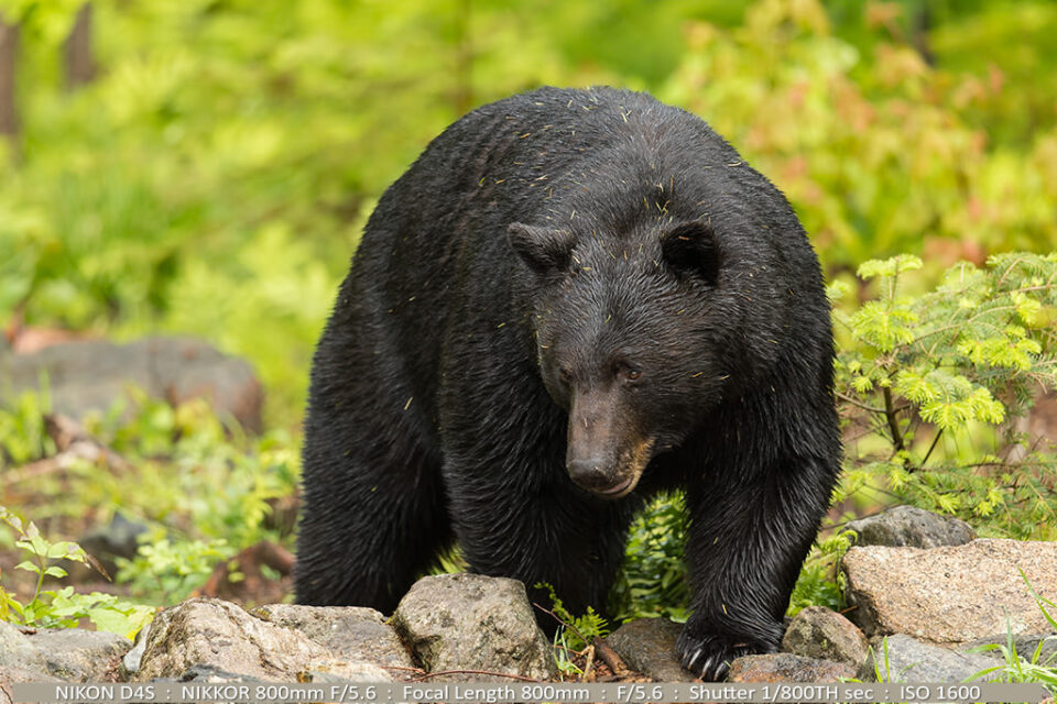 PLWLT-Part-II-Photo-01-600lb-Black-Bear-Copyright-Robert-J-Andersen