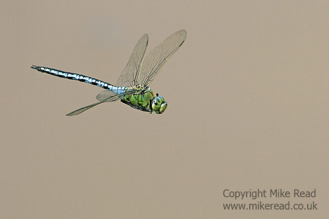 Blue emperor Anax imperator male in flight
